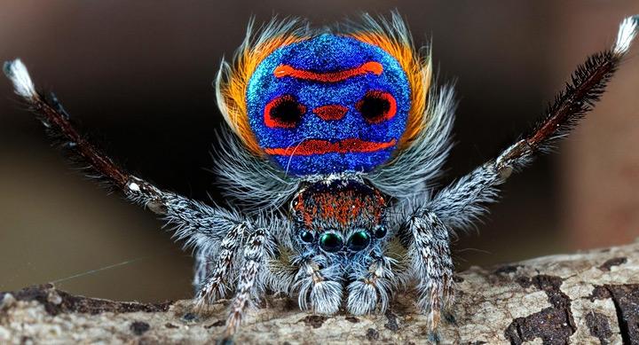 Araña-Pavo-Real-1