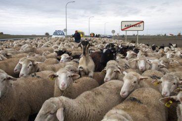 Arévalo acoge la Fiesta de la Mesta en la que 2.000 ovejas atraviesan la localidad desde el polígono industrial hacia la avenida Emilio Romero. ÁVILA, 19-11-2014 FOTO: M. MARTÍN.