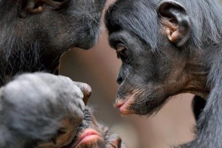 Altruismo, bonobos y capitalismo