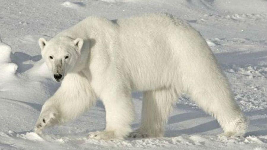 Osos polares: según mejora el recuento, en mejor situación están